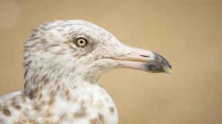 close-up-profile-spotted-seagull-head-side-rhode-island-beach-92431759