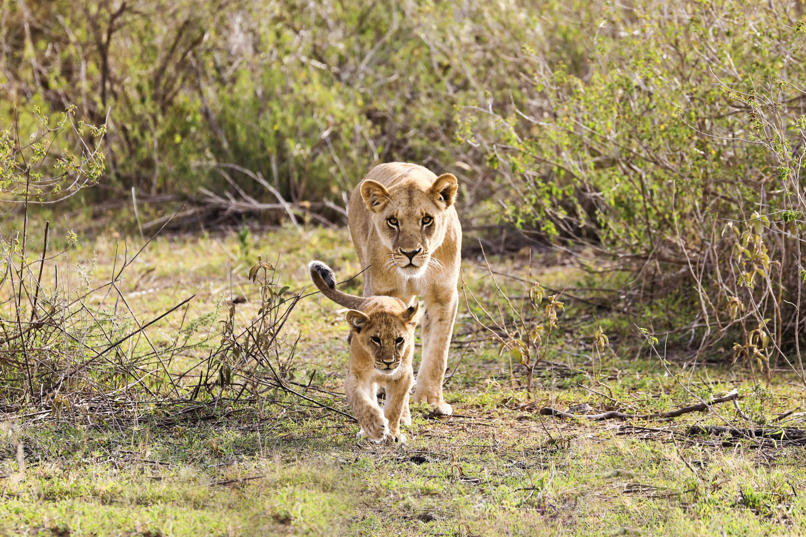 A lioness and a cub walk in Tanzania.